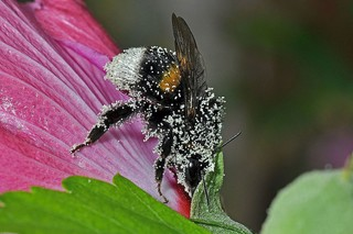 Copyright C. QUINTIN Bombus sp groupe terrestris